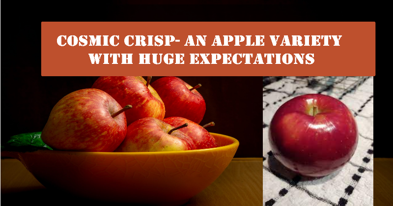 Cosmic Crisp- An Apple Variety With Huge Expectations